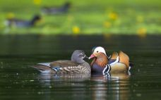 pair_of_mandarin_ducks_in_the_water_wallpaper_-_1280x800